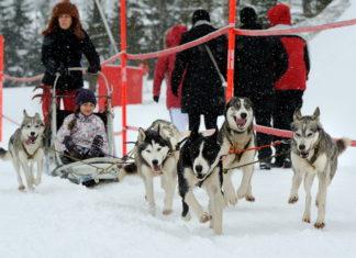 śnieżne psy w tatrzańskiej łomnicy